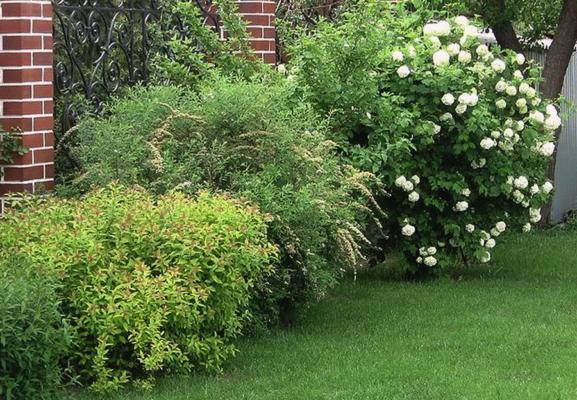 Спиреи и гортензия в саду