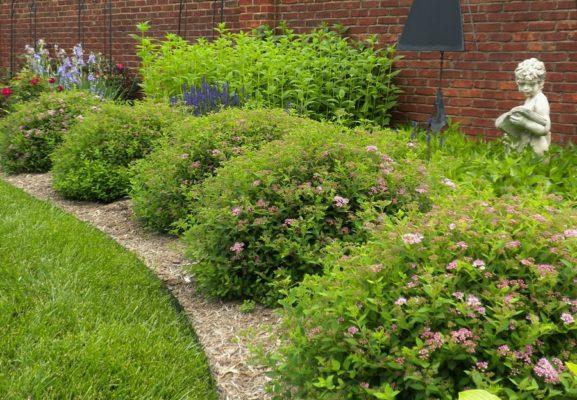 Спиреи в саду