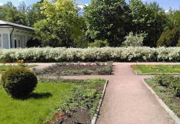 Спиреи серые в парке