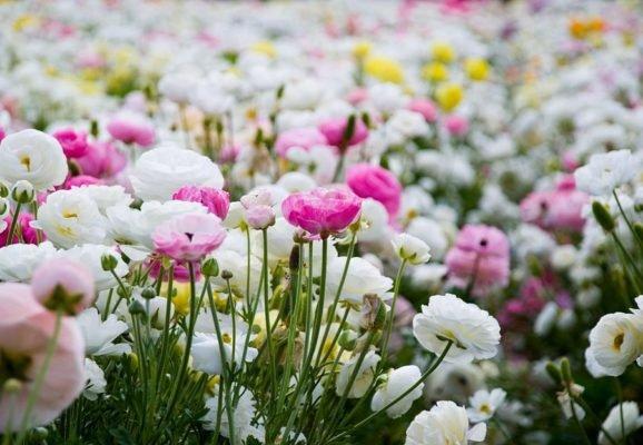 Ранункулюс персидский на полях