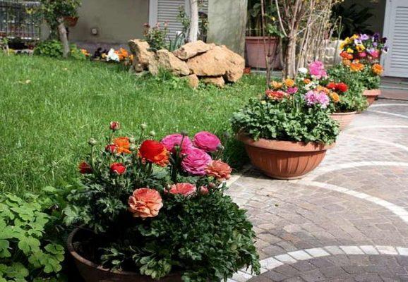 Садовые лютики в вазонах
