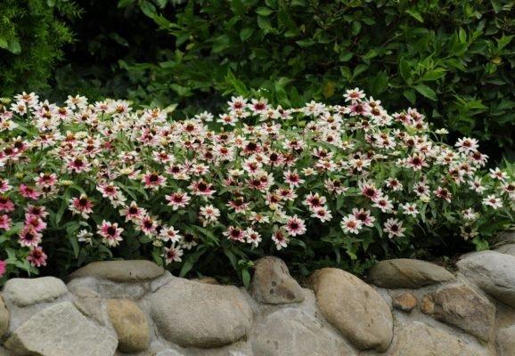 Цинния Zahara Starlight Rose