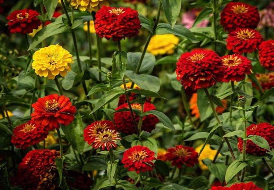 майоры цветы фото название германии были главным