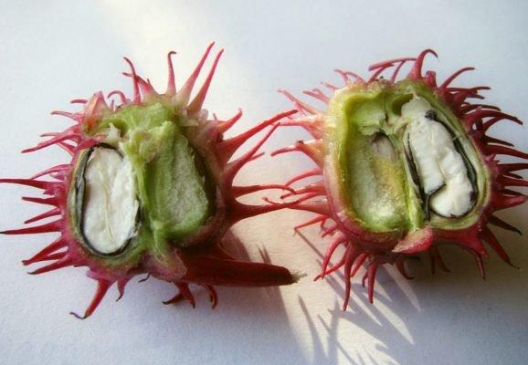 Плод клещевины