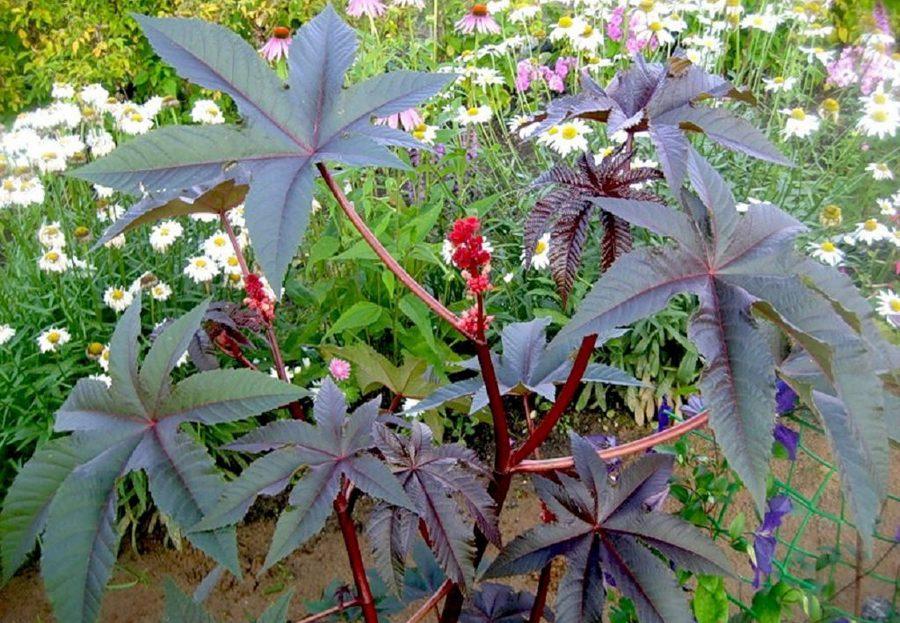 Ядовитые декоративные садовые цветы фото название