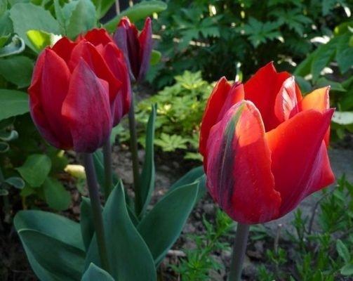 Тюльпан Couler Cardinal