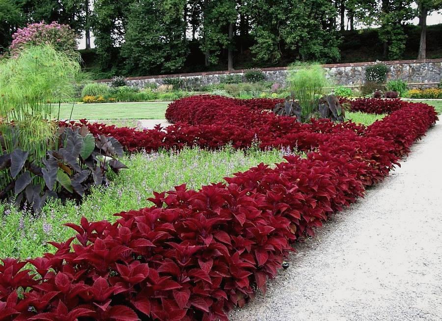 Фото бордовый цвет в ландшафтном дизайне