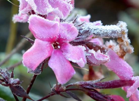 Флокс под снегом