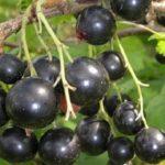 Сорт Чёрный жемчуг