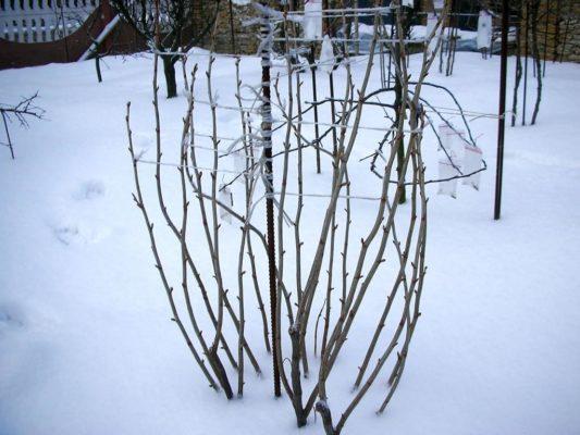 Подготовка кустов чёрной смородины к зиме