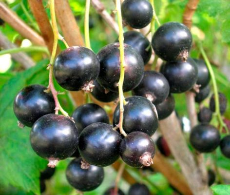 Урожайный сорт Пигмей