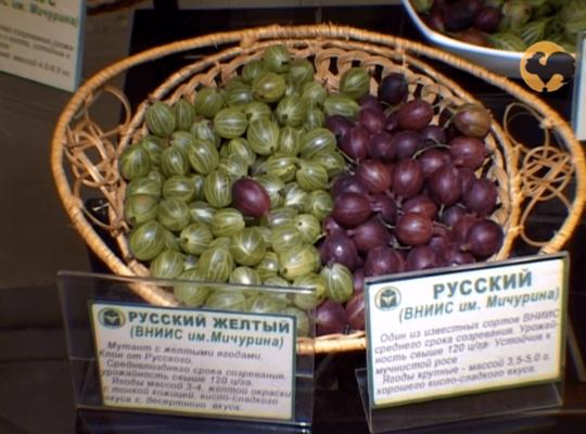 Сорта Русский и Русский жёлтый