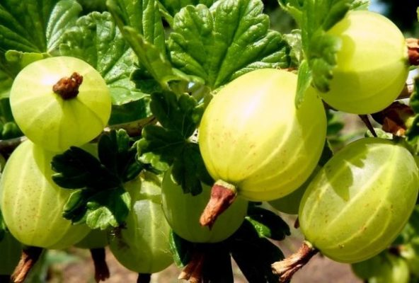 Спелые плоды крыжовника