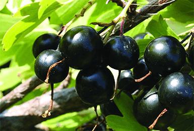 Ягоды смородины Черный жемчуг