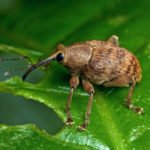 Малинно-земляничный долгоносик на листе