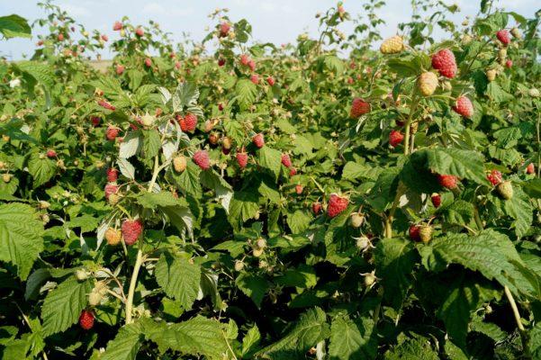 Куст малины Карамелька с ягодами