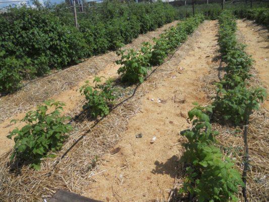 Капельный полив кустов малины