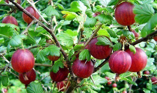 Куст крыжовника с ягодами