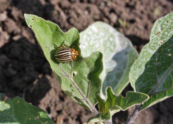 Колорадский жук на листе баклажана