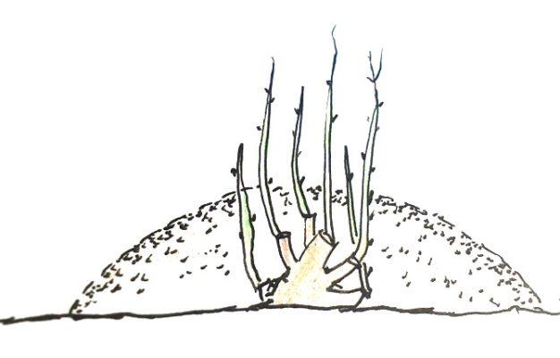 Вертикальные отводки смородины