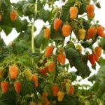 Побег со спелыми ягодами