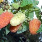 Завязи и зреющие ягоды Оранжевого чуда