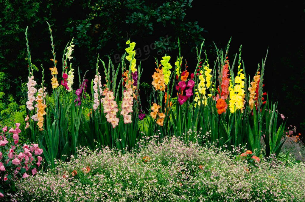 гладиолусы фото цветов на клумбе столица славится
