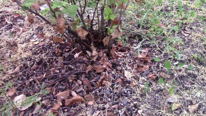 Утепление корней чёрной смородины сухой листвой