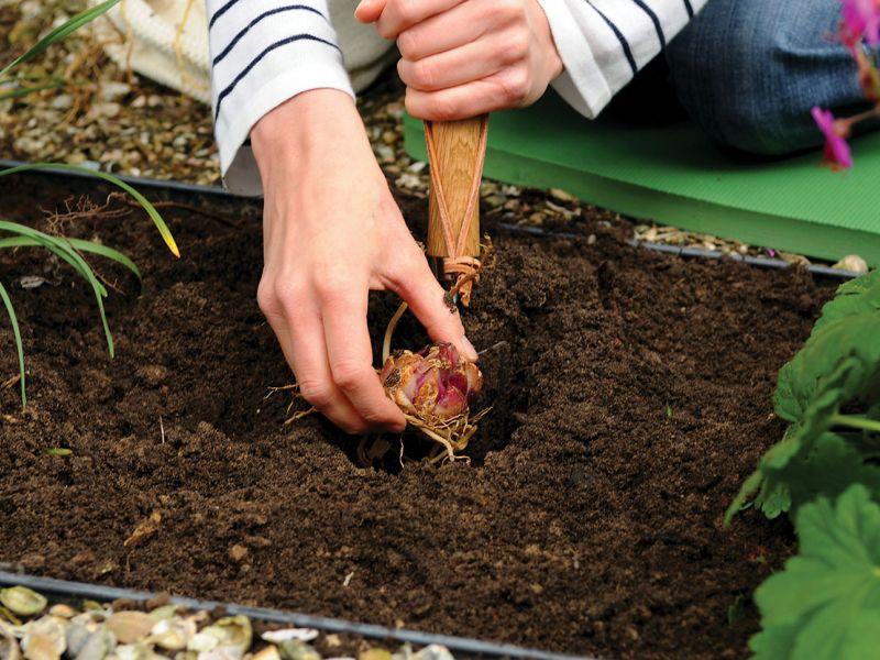 Посадка лилий осенью в открытый грунт: когда сажать, сроки, как правильно
