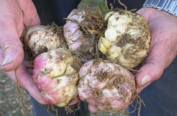 Луковицы лилий в руках