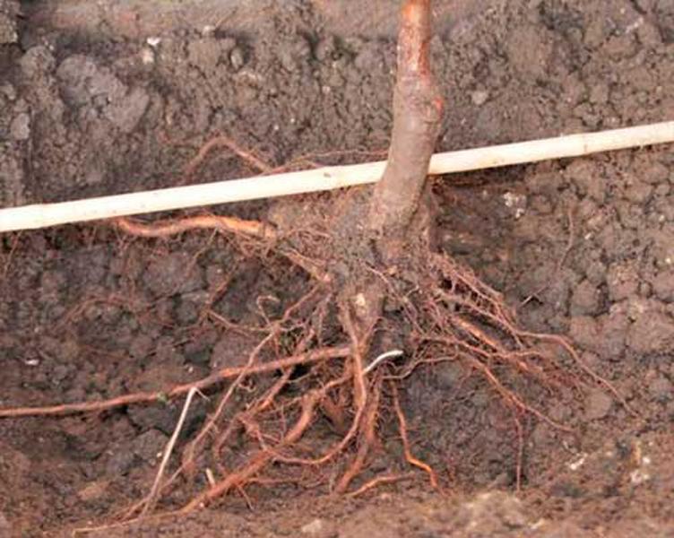 как правильно сажать саженцы плодовых деревьев