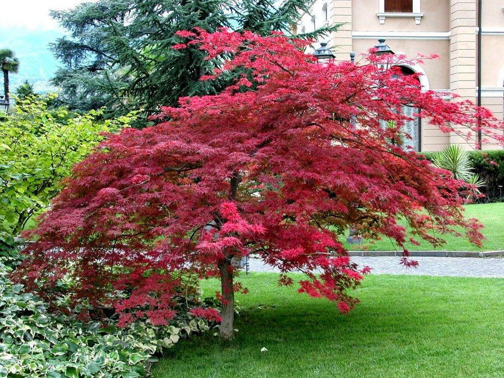 что декоративные лиственные деревья для сада фото с названиями раздвижная